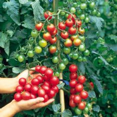Tomato F1 Sweet Million - 20 seeds